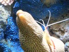 Cleaner Shrimp & Moray Eel (howsmystockdoing) Tags: coral aquarium shark monterey jellyfish seahorse nemo starfish montereybayaquarium crab shrimp clownfish carmel pebblebeach 17miledrive fishermanswharf pacificgrove tuna sponge seaotter morayeel pipefish bluetang asilomarbeach yellowtang losthills sevengablesinn innatspanishbay lonecypresstree soledadmission greengablesinn