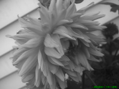 mystery in the garden (jessigirl_94) Tags: dahlia white black flower mysterious
