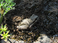 Hello there Mr. Frog! (LaughingStarfish/dstroy) Tags: nature oregon hike gorge wildflowers hoodriver columbiarivergorge balsamroot tommccallpreserve