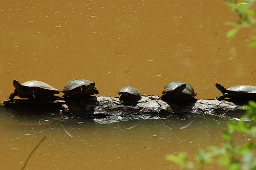 Image of Turtles on Ivy Creek
