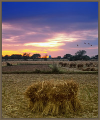 Land of Five Rivers (IshtiaQ Ahmed revival to Photography) Tags: pakistan sunset colors gold harvest hues fields punjab fertility corp burds weat fiveseasons kharian lovepakistan vertorama ishtiaqahmed vosplusbellesphotos samuelanwar landoffiverivers dillosharif