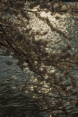 (torugatoru) Tags: light spring pond aomori  cherryblossom sakura hirosaki