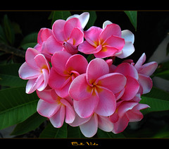 The Plumeria Belle Vista (mad plumerian) Tags: pink flowers thailand florida plumeria exotic hawaiian frangipani rare tropicals tropicalflowers hybrids rareplant rareplants exoticflowers flowersinbloom rareflowers rareplantsflowers hybridflowers lelavadee
