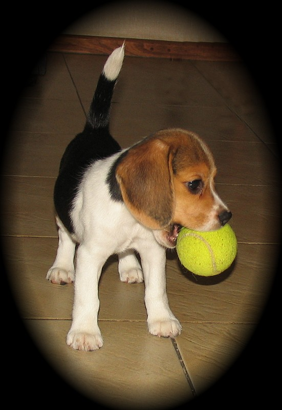 Beagle. La Raza ideal de Perros