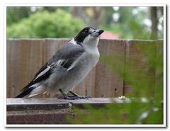 Grey butcherbird (Tatters ❀) Tags: bird home australia australianbirds butcherbird cracticustorquatus cracticus