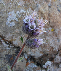 california phacelia - phacelia californica