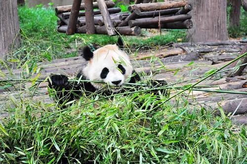 Panda 134
