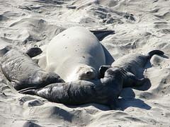 Good Mom (Jenna Stirling) Tags: ocean california sea wild nature animal wildlife seal pup molt rookery elephantseal photocontesttnc09 dailynaturetnc09 newlifenw10