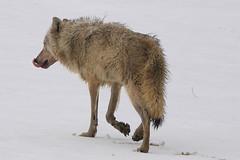Wolf has killed and eaten (Hammerchewer) Tags: wolf yellowstone elk wolfattack