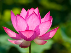 Lotus Flower  (olvwu | ) Tags: plant flower macro lotus bokeh farm taiwan ntu taipei bud  laef  lotusflower nelumbonaceae taipeicounty nelumbo sindian jungpangwu oliverwu oliverjpwu nelumbonucifera 50mmmacro  ntufarm proteales nelumbonuciferagaertn olvwu eastindianlotus  sindiancity jungpang  ntuangkangfarm ntuankangfarm