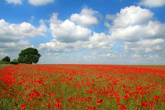 Field of red poppies (Anthony Thomas [aka wabberjocky]) Tags: flowers blue red sky flower field clouds poppy poppies anthonythomas unature wabberjocky
