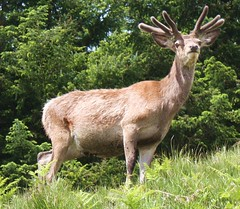 Red Deer Stag (flambard) Tags: wild beautiful scotland stag velvet deer kinloch reddeer garry glengarry lochgarry hourn kinlochourn