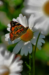 Yes...more ! (eskimo_row) Tags: butterfly daisy paintedlady