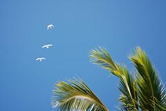 In the Sky of Rarotonga (Daniele Sartori) Tags: ocean travel sky bird island polynesia nikon day pacific cook palm clear cielo cookislands rarotonga palma viaggio pacifico oceano uccello polinesia oceania isole d80 isolecook