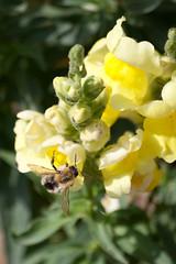 Jardin des Plantes-63 (MissDogo) Tags: paris macro fleur parc abeilles insectes jardindesplantes bourdon proxyphoto hym jardinalpin hyménoptères hymnoptres
