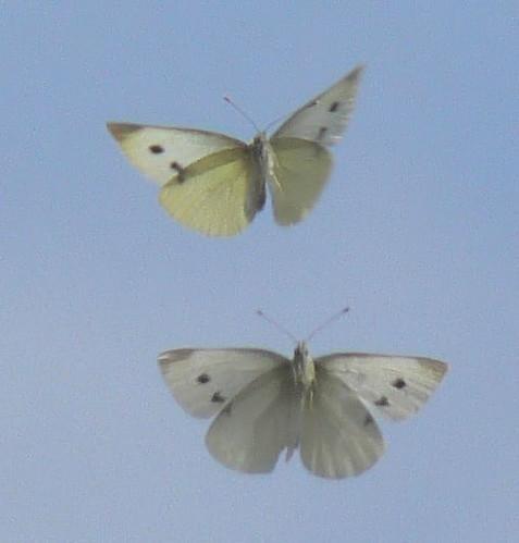 Pictures Of Butterflies In Flight. Butterflies in flight