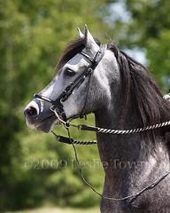 PasoFinoStallion_0228 (myhorse) Tags: horse ontario grey gray stallion pasofino forestgaitfarm