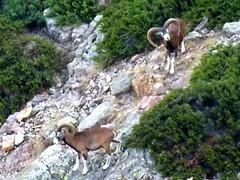Une paire de mouflons mâles en versant Scaffone