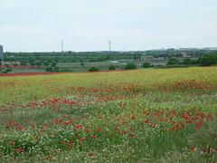 Campo en primavera (targarina) Tags: flores planta rojo amarillo campo catalunya silvestre catalua lleida amapolas trrega semilla campodeamapolas verdecomarcaurgell