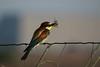 GRUCCIONE  S'ENA ARRUBIA  04.07.10 135 (sandro piras or) Tags: sardegna natura oristano senaarrubia gruccione senaarrubiagruccioni040710