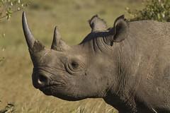 Masai Mara Safari - Black Rhino (Adrian Cabrero (Mustagrapho)) Tags: africa animals kenya safari rhino 7d adrian blackrhino masaimara wildanimals cabrero 100400 masaimaranationalreserve canon100400f4556 intrepids canon7d adriancabrero mytummytalkstome themasaimara masaimaraintrepidsclub summeronsafari