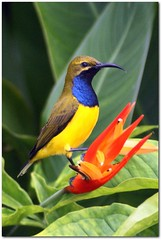 Colours Of The Tropics (gecko47) Tags: blue orange black bird yellow garden olive queensland honeyeater heliconia townsville sunbird australianbird nectoriniajugularis yellowbelliedsunbird