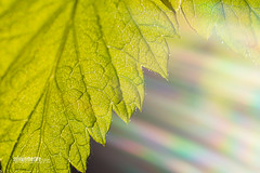 Regenerate! (SylvainMestre) Tags: sun macro soleil leaf ray ring rayon f8 renaissance manualfocus regenerate feuille raspberrybush makinon framboisier