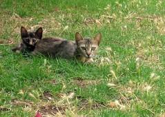 Two-heads cat. (dorinem) Tags: cats green grass animals haifa processed 2007
