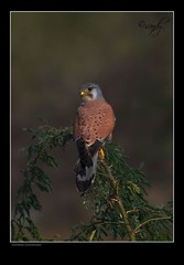 Common kestrel male (Sandeep Somasekharan) Tags: raptor commonkestrel accipitridae birdkutchgujaratgrkgreaterrannofkutchd80300mmf4 sandyclix