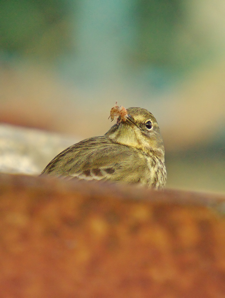 Pipit with shrimp
