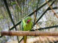 PARROT EATING CHILLIES.... (~~~~Karthik.S~~~~) Tags: animalplanet oléquebonito thebanerghattanationalpark