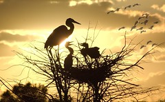 Let The Sun Shine Threw (burt1barnett) Tags: bird heron nature birds silhouette sunrise wildlife wako soe greatblueheron wetland naturesfinest wakodahatchee abigfave anawesomeshot yourpreferredpicture