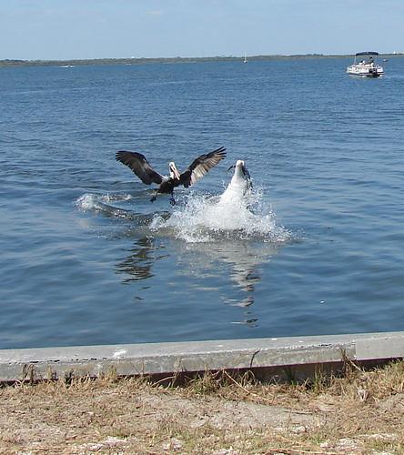dolphin pelican & fish