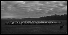 A nyáj (skriszta) Tags: hungary sheep sheepdog magyarország flockofsheep olympusc4040z nyáj