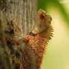 """Onth""-Calotes versicolor-Garden Lizard-male (sash/ slash) Tags: tree green nature garden sash lizard trivandrum sajesh clickon"