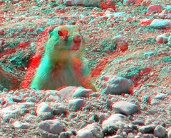 Prairie Dog (Anaglyph 3D) (patrick.swinnea) Tags: animal stereoscopic stereophoto 3d furry anaglyph prairiedog