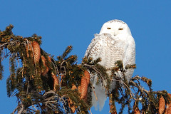 Snowy Owl (Ralf Nowak) Tags: ontario canada bird nature birds animal fauna nikon snowy wildlife hamilton sigma explore raptor owl birdofprey stoneycreek bubo snowyowl ptak ptaki sowa sigmalens d40 buboscandiacus scandiacus sowy niena nikond40 sowaniena