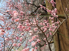 DSC07885.JPG (chinitanglatina) Tags: flowers nature japan spring ome ume yoshino plumblossoms umematsuri