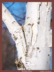 Bouleau blanc (Ang1989) Tags: canada tree nature aperture hiver qubec arbre bouleau nikond300 photoquebec yvesgervais