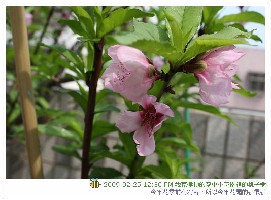 09.02.25 樓頂桃子開花 (3)