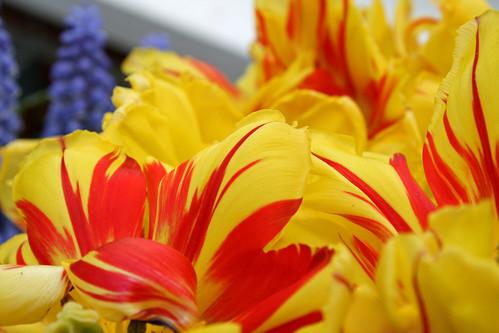 tiger tulips