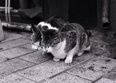 Love (*^_^*) (minolta SR-T101) (potopoto53age) Tags: blackandwhite bw cats love film monochrome animal japan cat blackwhite minolta epson ilfordxp2super 58mm ilford nestle minoltasrt101 yamanashi srt101 kofu rokkor xp2super mcrokkorpg58mmf12 bestofcats mycameraneverlies sweetphotos epsongtx970 gtx970