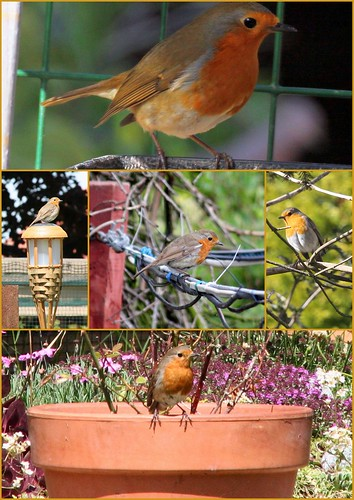 Robins - Collage
