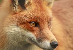 eye on the prize (felt_tip_felon) Tags: mammal wildlife fox bwc redfox vulpesvulpes anawesomeshot