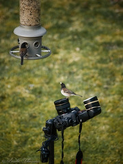 Bird Photographing Setup (gapey) Tags: bird birds junco feeder setup eliminator oregonjunco blackheaded remoteshutter pocketwizard wildbirdsunlimited