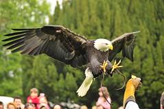 Warwick Castle - Birds of Prey Experience - Bald Eagle (20) (AAron Metcalfe) Tags: animal eagle birdofprey warwickcastle