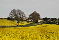 "Fields Of Gold (Paul ""Razor"" Ritchie) Tags: yellow landscape golden nikon hampshire explore fields picturesque 4seasons rapeseed sigma105mmmacro april2009 paulritchie thelizardwizard"