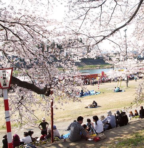 sakura  お花見
