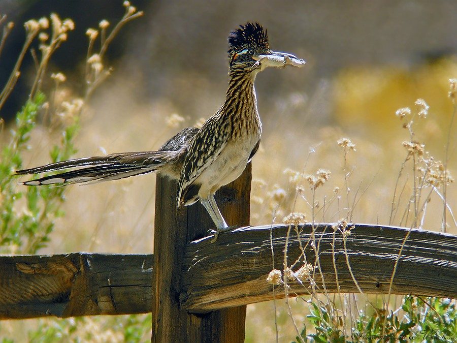 Greater Roadrunner 040910
