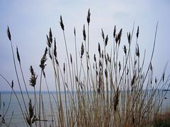 Reeds (Leimenide) Tags: sea england water reeds united kingdom solent isle wight
